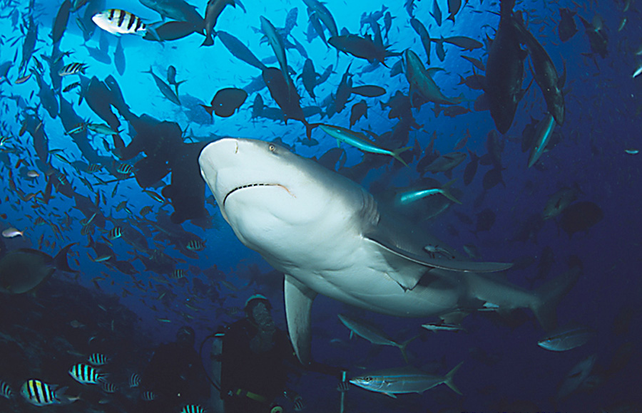 В реки заходят бычьи акулы. Найти ещё сообщения от leongur. Сказал(а